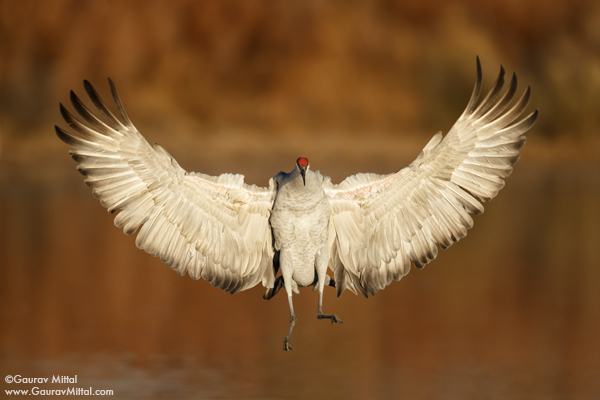 Bird Photography Tips, Sandhill Crane, birds in flight