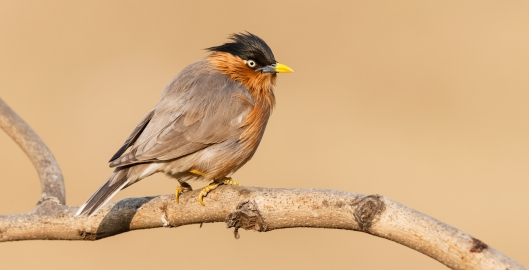Canon 1DX / 600mm / 1/640sec @ f/8.0 / Brahminy Starling