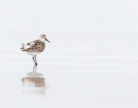 Sanderling. Morro Bay, CA