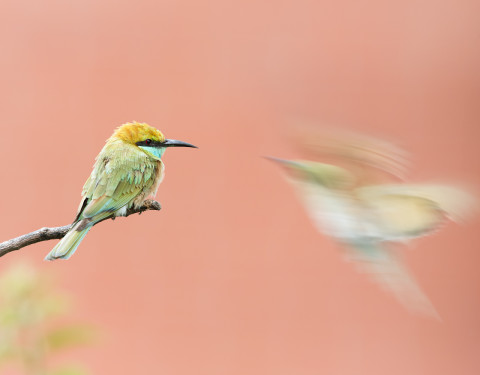 Green bee-eaters. Gurgaon, Haryana