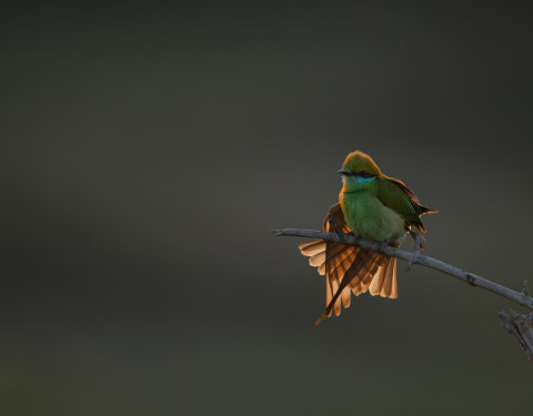 Green bee-eater. Bharatpur, Rajasthan