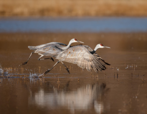 Sandhill Cranes. Bosque, NM