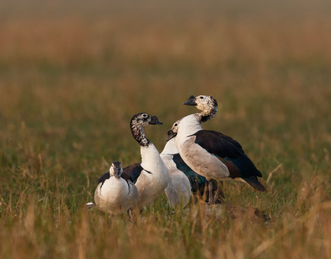 Comb duck. Bharatpur, Rajasthan