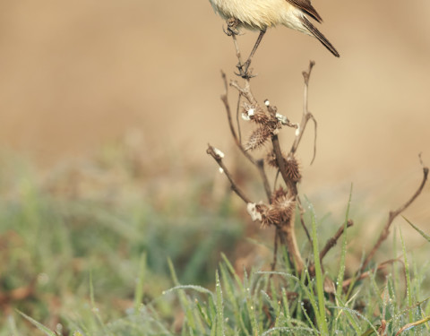 Common Stonechat. Sultanpur, Haryana
