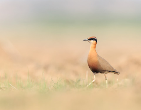 Indian Courser. Kanchanpura, Rajasthan