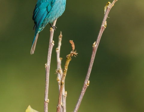 Verditer Flycatcher. Rishop, West Bengal