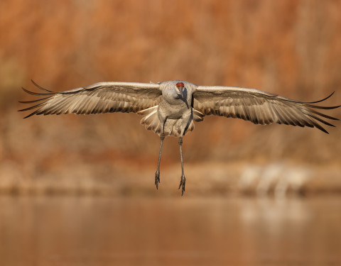 Sandhill Crane. Bosque, NM