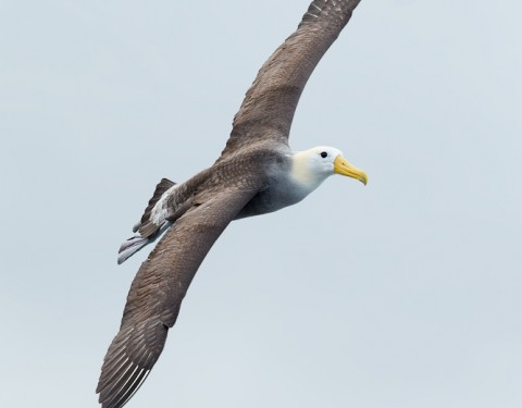 Waived Albatross. Hood Island, Galapagos