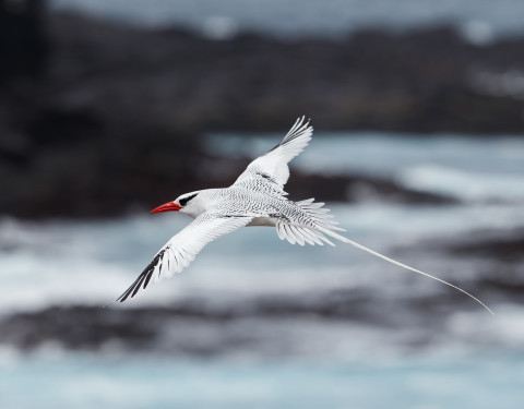 Red-billed Tropicbird. Hood Island, Galapagos