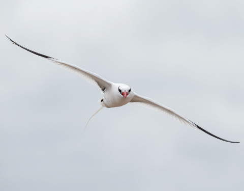 Red- billed Tropicbird. Hood Island, Galapagos