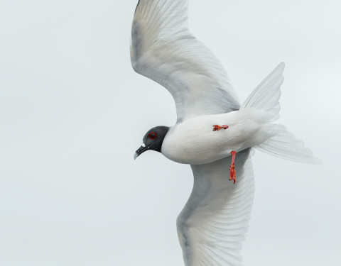 Swallow-tailed Gull. Barrington Bay, Galapagos
