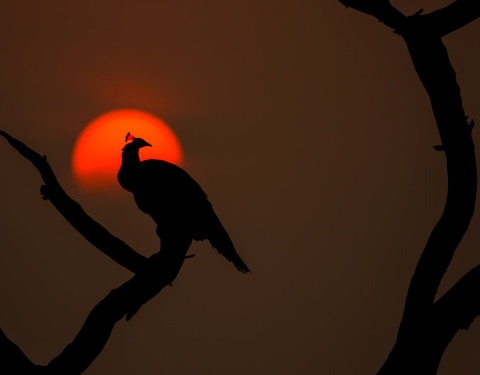 The rising. Indian Peafowl