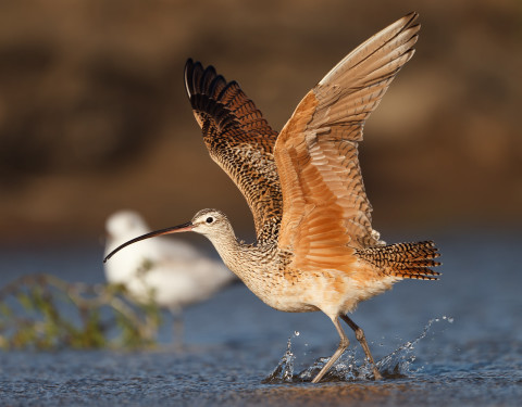 Long-billed Curlew. Morro Bay, CA