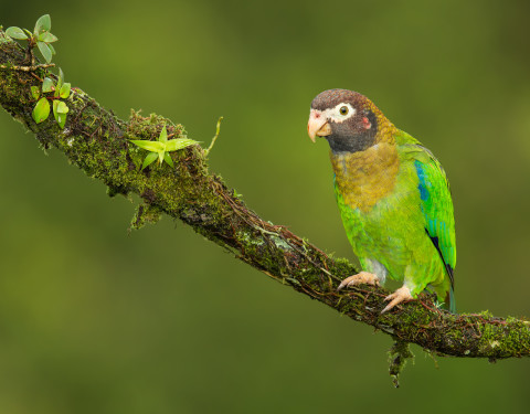 Brown-hooded Parrot. Costa Rica