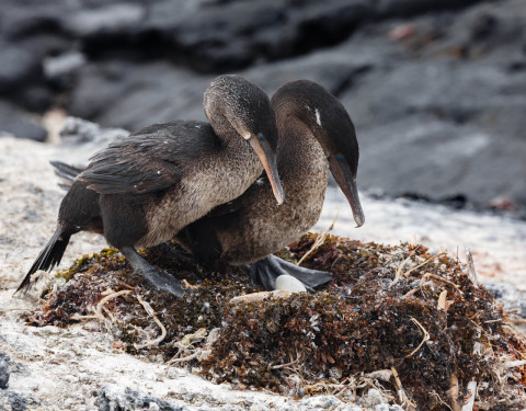 Flightless Cormorants. Isabela, Galapagos
