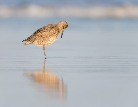Willet. Morro Bay, CA