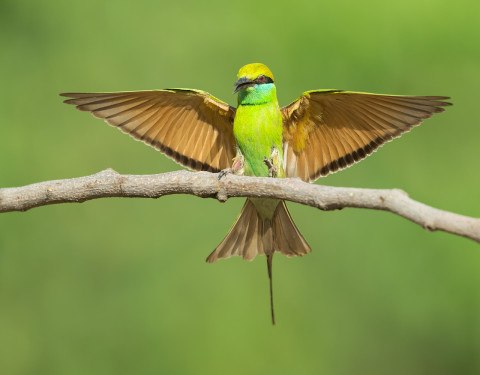 Green bee-eater, Gurgaon. Haryana