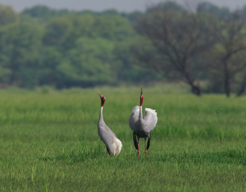 Call of the Sarus Cranes