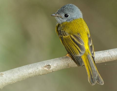 Grey-headed canary Flycatcher