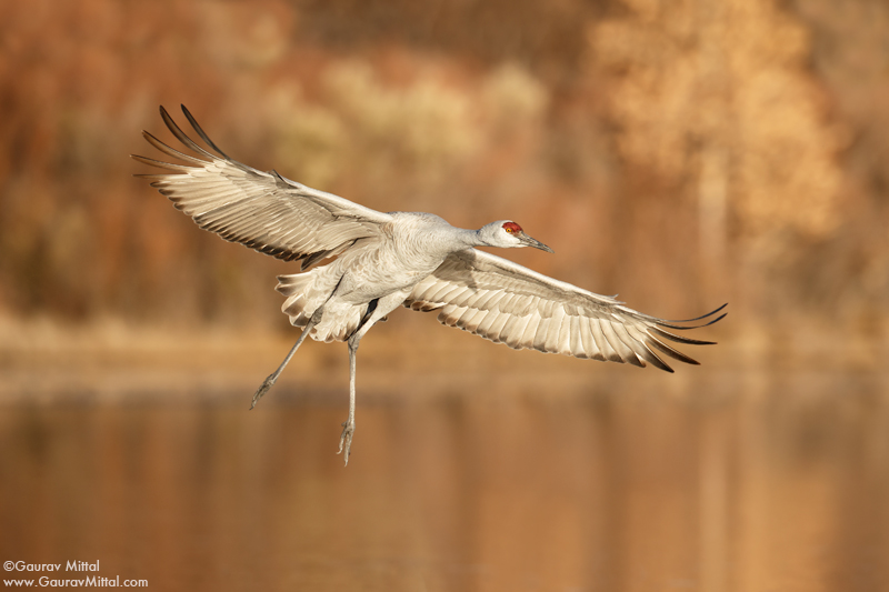 Sandhill crane. Bosque, New Mexico