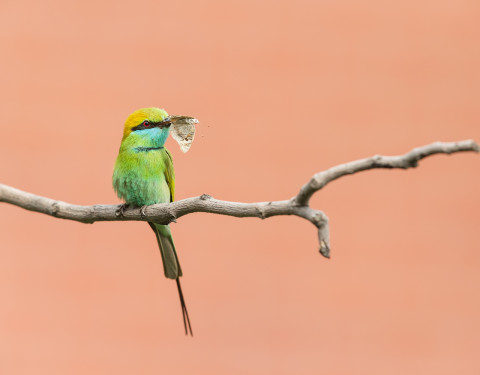 Green bee-eater. Gurgaon, Haryana