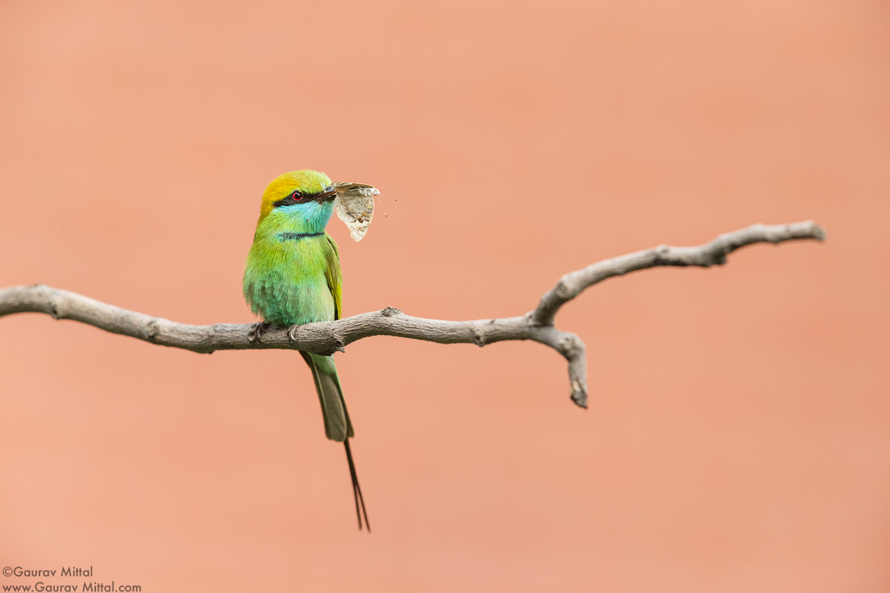 Canon 7D Mark II / 600mm, 1.4X / 1/2500 @ F/7.1 / Green Bee-eater
