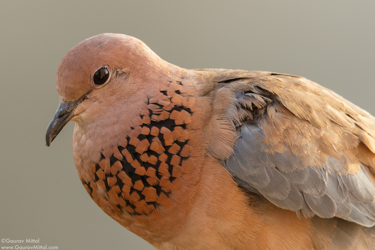 Canon 7D Mark II / 600mm, 1.4X, 20mm extension tube / 1/125 @ F/11 / Laughing Dove
