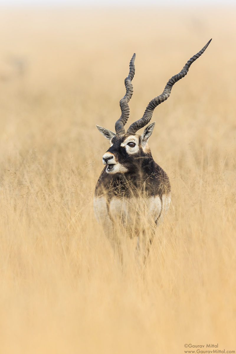 Canon 1DX / 600mm 1.4X / 1/1600 @ F/5.6 / Black Buck
