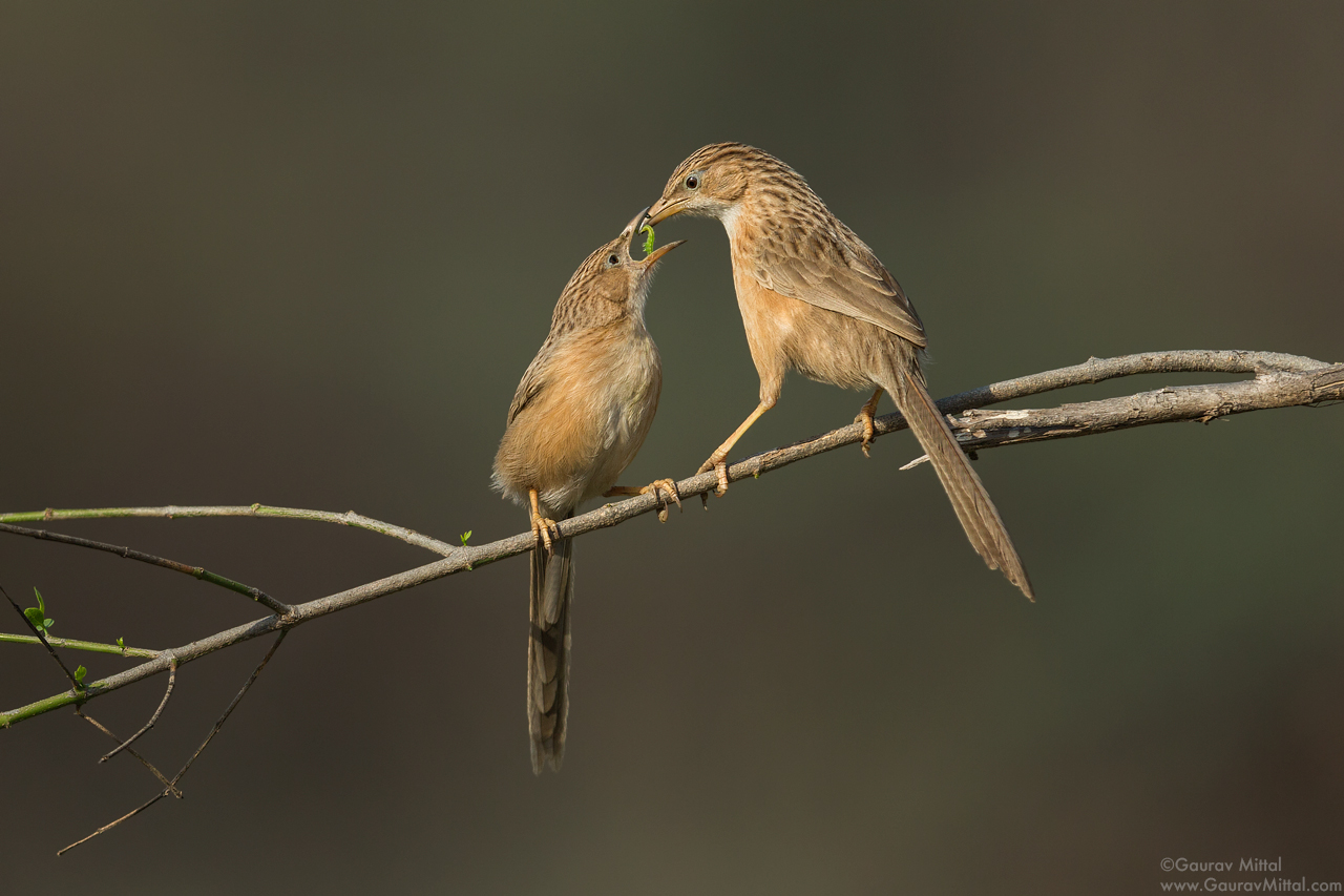 Canon 1DX / 600mm 1.4X / 1/3200 @ F/5.6 / Common Babbler
