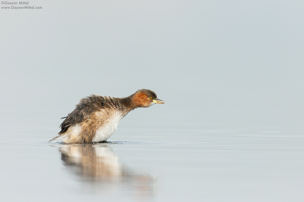 Canon 7D Mark II / 600mm 1.4X / 1/3200 @ F/5.6 / Little Grebe