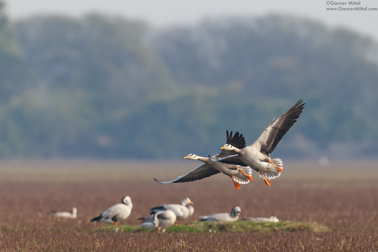Canon 1DX / 600mm 1.4X / 1/1600 sec @ F/8.0 – Bar-headed Geese