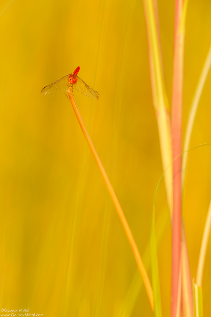 Canon 5D Mark III / 600mm 1.4X / 1/80 sec @ F/8.0 – Scarlet Dragonfly