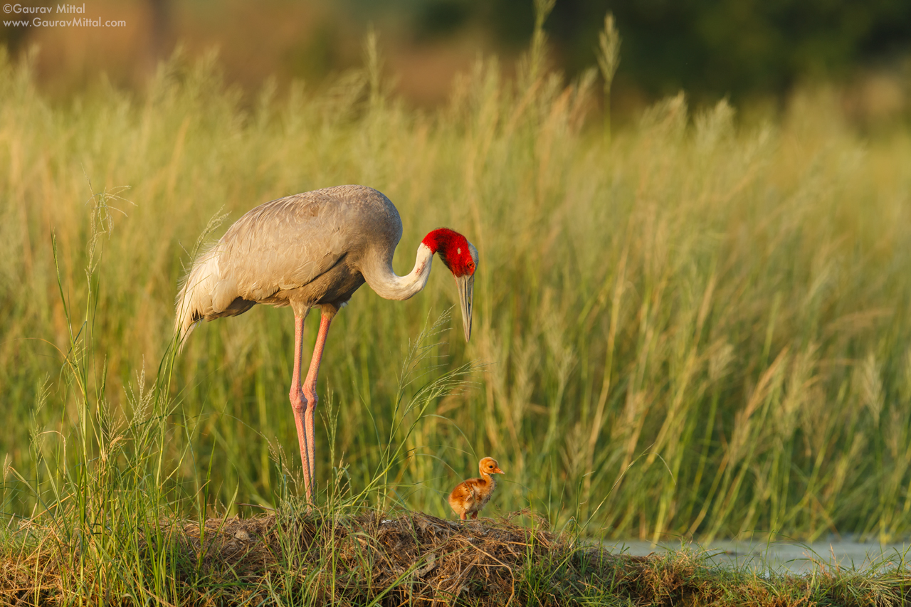 Canon 5D Mark III / 600mm 1.4X / 1/500 sec @ F/8.0 – Sarus Crane with chick