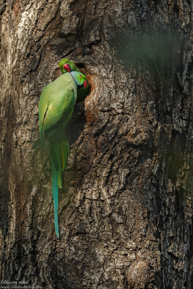 Canon IDX /600mm + 1.4X /1/1000 sec @ F/8 / Rose-ringed Parakeet