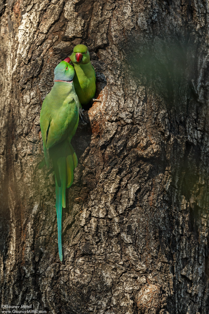 Canon IDX /600mm + 1.4X /1/800 sec @ F/8 / Rose-ringed Parakeet