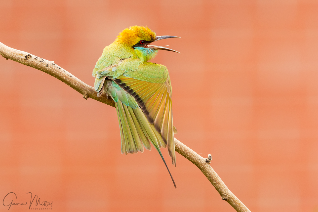 Canon 7D Mark II / 150-600mm / 1/80sec / f/8.0 / Green Bee-eater